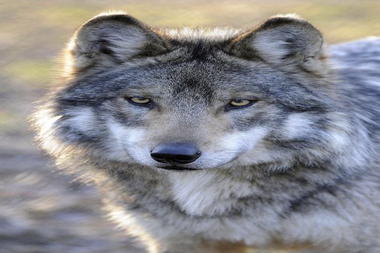Ulven er genindvandret naturligt i 2012, og selvom der er tvivl om, hvor mange ulve der egentlig er i Danmark, er der ingen tvivl om, at der i dag er flere eksemplarer.