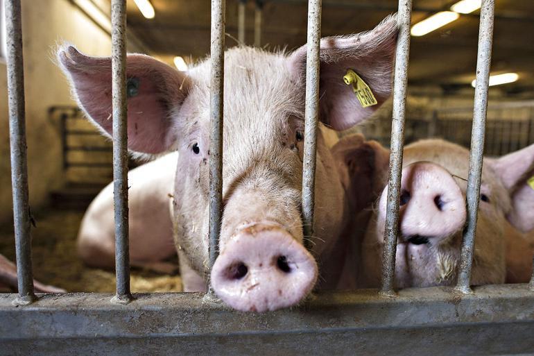 Kommuner kan være tvunget til at sige ja til udvidelser af svinefarme, når landmanden har styr på papirarbejdet til at få en miljøgodkendelse. Også selvom lokalpolitikerne mener, udvidelsen er en dårlig idé. Middelfart, Esbjerg, Holbæk og Skanderborg har siden lovændringen i 2017 sendt breve til miljøministeren for at gøre opmærksom på problemet.
