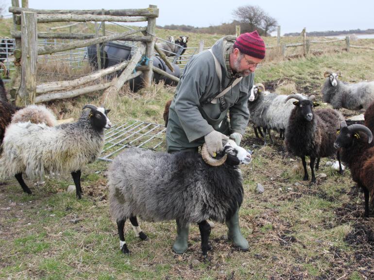 På Samsø er fårehyrden kommunal